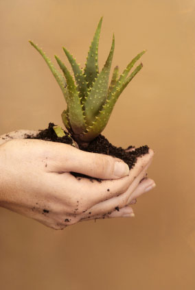someone holding an aloe vera plant in their hands
