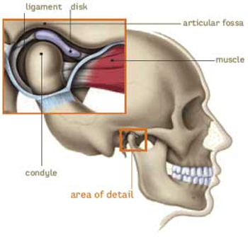 Diagram of a skull with TMJ area in the forefront, including ligament, disc, articular fossa, muscle, and condyle.